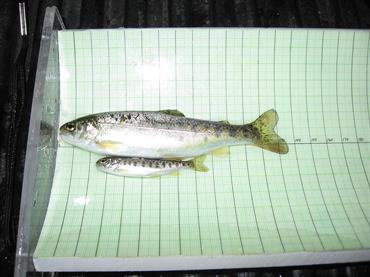 Two wild steelhead trout (Oncorhynchus mykiss) from the American River, on a board used to measure variation in size among indiv