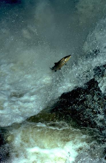 Atlantic salmon leaping in freshwater