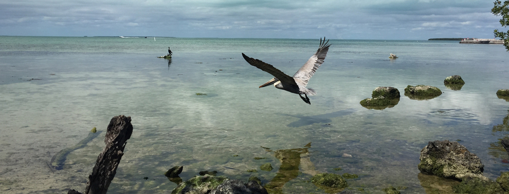 Pelican at Florida Keys